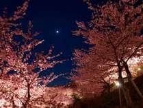 ホテルから車で約3分、河津桜のライトアップ(一部期間、河津駅まで送迎有り)