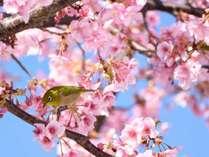 河津桜とめじろで春を楽しむ
