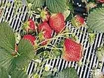 美味しい秩父の苺