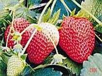 甘くて美味しい秩父の苺 初春の味をお試し下さい。