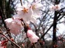 客室108号室の彼岸桜。