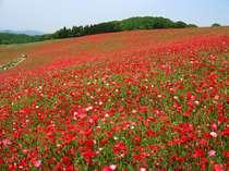 5月中旬:秩父高原牧場で一面の真っ赤なポピーが咲き誇ります