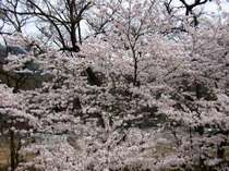 満開の桜はお部屋からお花見