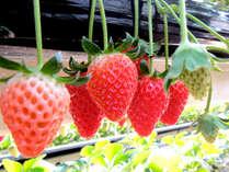 【期間限定◆いちご狩り】静岡生まれのあま~い苺が食べ放題♪♪