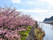濃いピンクが特徴の河津桜は早春の伊豆の風物詩