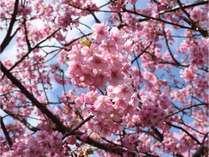 一足早く春を告げる河津桜をぜひお楽しみください