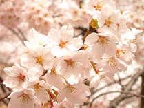 【東北の桜】◆青森・春の風物詩◆弘前さくら祭りに行こう!≪1泊2食付≫