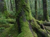 苔の森として大人気の原生林!近くには八ヶ岳白駒池がございます。