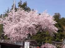 戸隠の桜はGWが見頃!美しく咲く春の風物詩をお楽しみください。