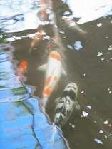庭園露店風呂隣接池の鯉~露店風呂から眺めることが可能です。