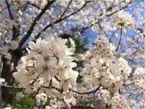 ホテル隣の境川沿いには毎年沢山の桜が連なります☆