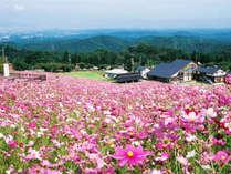 *併設のスキー場の斜面に、秋には百万本のコスモスが咲き誇ります。