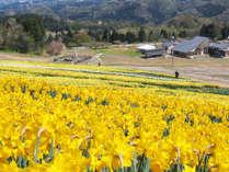 *春には一面に水仙が咲き誇ります!
