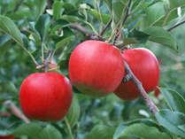 とってその場でまるかじり「旬のりんご収穫体験&酸ケ湯温泉湯治宿泊パック」