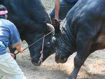 780年の伝統【隠岐の牛突き】★迫力の「オリャオリャ」を生で見よう!