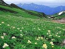 雪解けとともに花咲くミズバショウ。の画像