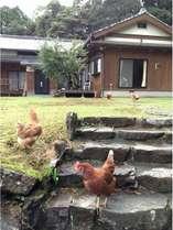 海に囲まれた平戸島のほぼ中央の静かな田舎に農家民宿米吉つぁんはあります。散策中のニワトリです