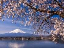 湖畔の4月、桜と富士山、わかさぎ釣れています。