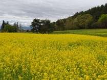 山麓に広がる菜の花畑