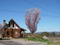 オオヤマ桜とログハウス 眺望もバッチリ