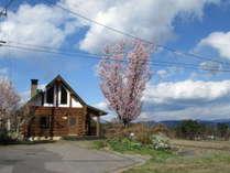 満開のオオヤマザクラ その眼下には田舎の原風景が広がる