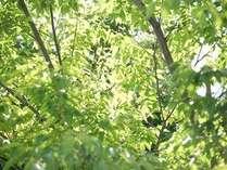 木漏れ日 若葉が御出迎えを・・・。