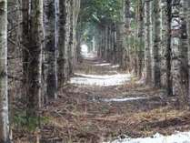 pine corrdoir ☆松の回廊 田園の森の松並木のトンネルを散策するのも思い出になります密かに人気です。