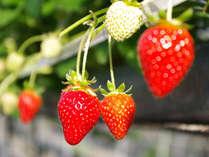 <みんなで苺狩り体験♪>赤くてとっても甘い苺(主に「さちのか」)を好きなだけ食べる事が出来ます。