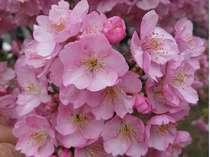 早咲きの河津桜2月10日~3月10日まで河津桜まつり実施中!