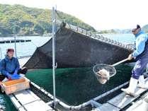 真鯛養殖の筏から新鮮な真鯛を網ですくう,三重県,かわちや旅館