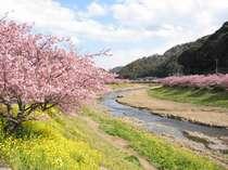南伊豆の河津桜と菜の花2月~3月