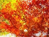伊豆天城山の紅葉。車で45分