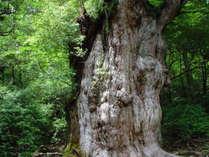 【縄文杉】推定樹齢7200年の屋久島のシンボル