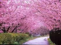 早春の伊豆を彩る河津桜。お花見会場へは当館より徒歩5分で