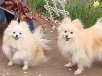 ポメラニアンの看板犬「みぃ」と「ゆぅ」もお待ちしています