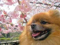 *【わんちゃん&さくら(イメージ)】わんちゃんも喜ぶ満開の桜♪