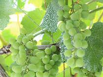 若摘みのぶどうで作った「ヴィーニョ・ヴェルデ」はみずみずしい果実そのままの美味しさ。※画像はイメージ