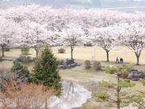当館周辺の桜~那珂川河畔公園/鳥野目河川公園/黒磯公園など