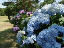 「紫陽花(あじさい)」…【当館周辺】6月末~7月頃