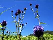 【夏】夏の貴重種、高原に自生するひごたい