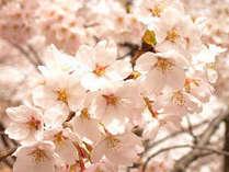 桜:開花予想日3/24 満開予想日3/29