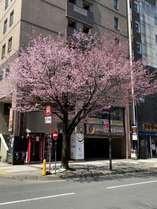 2021年 春、正面玄関に立派な桜が咲いております。毎年、写真を撮られる方が大勢いらっしゃいます。
