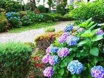 お庭のアジサイが見ごろです