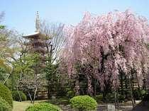 【浅草寺・伝法院】しだれ桜が美しい春の風景です。隅田公園もお花見の名所です♪