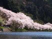 海からの海津大崎の桜