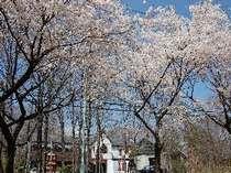 ダイアナ館正面側桜並木、5月中まで桜景色を楽しめます。