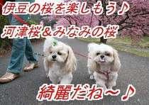 とっても綺麗な河津桜とみなみの桜♪