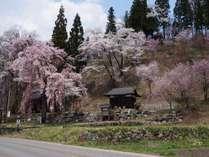 切久保神社桜