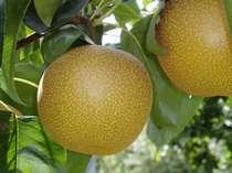 梨の幸水、豊水、20世紀の種類があるよ!