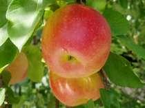 酸味のあるりんご、蜜入りりんご等季節に応じて実るよ!